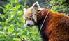 Red Panda (hydra25) Tags: city nyc red newyork nature animal zoo panda centralpark wildlife redpanda centralparkzoo