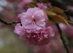 kabukil (jumbokedama) Tags: roses bees fullmoon cherryblossoms camellia bumblebees wisteria japaneseroses plumblossoms japaneselanterns japaneseflowers moonpictures beesonflowers japanesescenery viewsofjapan rosesofjapan