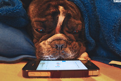 """I asked for iphone 6"" - Topo (TLMELO) Tags: santa christmas co topo puppy french noel bulldog og cachorro frances pressure iphone francs iphone4"