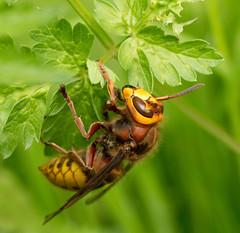 Hornet (Graham Dash) Tags: insects surrey cobham wasps hornets hymenoptera painshillpark painshill vespacrabro