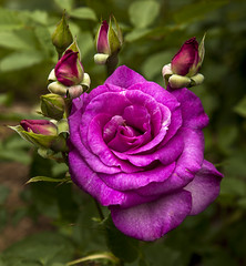 Melody Parfumee (Stephen P. Johnson) Tags: seattle park flower rose woodland washington flora place woodlandparkzoo garden201605180096
