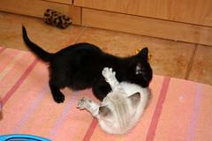 Gata Pucca (22) (adopcionesfelinasvalencia) Tags: gata pucca