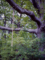 Rope & Tree, Goose Mountain State Park, New York (nsandin88) Tags: statepark park wild ny newyork tree 120 film mediumformat outside outdoors natural kodak rope creepy epson exploration portra manualfocus portra400 pentax67 kodakportra developedathome pentax67ii goosemountain getoutthere v850