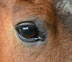 An animal's eyes have the power to speak a great language. (Pics4life.nl) Tags: horses horse green colors grass reflections oog paard paarden reflectie