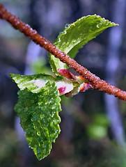 After the rain . . . (JLS Photography - Alaska) Tags: trees plant macro green nature leaves alaska forest leaf spring pattern bokeh outdoor depthoffield foliage alder redalder jlsphotographyalaska