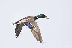 DSC_8132 (P2 New) Tags: france bretagne date animaux oiseaux fvrier 2016 anatidae cessonsvign canardcolvert ansriformes parcdecesson