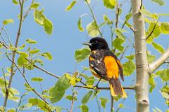 Yes we have no Whimbrels (rdroniuk) Tags: birds smallbirds passerines orioles baltimoreoriole icterusgalbula baltimoreoriolemale oiseaux passereaux orioledunord