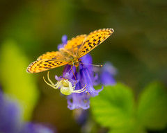 Lunch no feast!! (microwyred) Tags: butterfly spider wildlife insects places wyreforest smallpearlboarderedfritillary