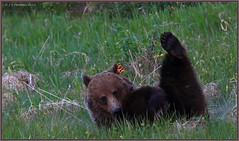 And hold, 2, 3, 4 (CrzyCnuk) Tags: canada canon wildlife alberta grizzly grizzlybear canon6d