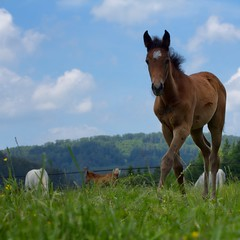 On the pasture (FocusPocus Photography) Tags: horse animal weide pasture arabian pferd tier foal fohlen araber marbach araberfohlen araberpferd hauptundlandgestt