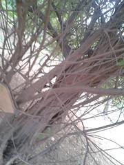 1 (Albizia amara) (Dr.S.Soundarapandian) Tags: india tree krishna tamilnadu pods amara antioxidant albizia siris usilai unjai