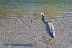 creatures of the mangroves - white-faced heron (Fat Burns  (on/off)) Tags: whitefacedheron egrettanovaehollandiae waterbird wader bird australianbird fauna australianfauna nikond750 sigma15006000mmf5063sports nudgeebeachmangrovewalk