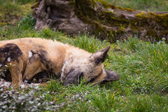 Sleepy (Cloudtail the Snow Leopard) Tags: afrikanischer wildhund zoo amneville tier animal mammal sugetier african wild dog lycaon pictus sleep