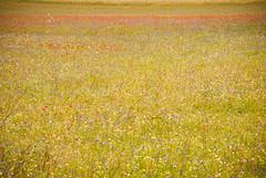MTR_0512.jpg (mtr64pg) Tags: natura wind norcia tempolibero flowers domenica montagna benedetto outdoor clouds umbria tempesta fiori cielo sibillini sunday altopiano lentils pioggia nature lenticchie valnerina nuvole rain vento mountain