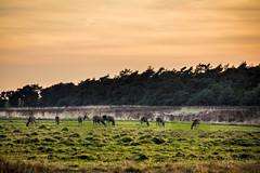 Deers at National Park Hoge Veluwe (elmarburke) Tags: heide gelderland dehogeveluwe rehe sunset veluwe deer deers hogeveluwe nationalparkdehogeveluwe reh sonnenuntergang heather hei ree reeën zonsondergang