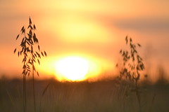In a field of dreams (cube core) Tags: crops field sunset sun set evening nature dreams