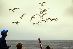 Seagull fun (Anneke Jager) Tags: annekejager canon seaside seagulls outdoor zeemeeuwen kust kste bird birds animal vogels