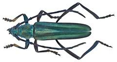 Malayanochroma cheongae Bentanachs & Drouin, 2013 Male (urjsa) Tags: coleoptera kfer beetle insect cerambycidae malayanochroma malaysia geo:country=malaysia taxonomy:order=coleoptera kaefer taxonomy:genus=malayanochroma suedostasien southeastasia sdostasien taxonomy:family=cerambycidae coleopteraus cheongae malayanochromacheongae taxonomy:species=malayanochroma taxonomy:binomial=malayanochromacheongae