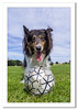 Lucy Playing with a football (Travels with a dog and a Camera :)) Tags: grass lightroom cc england border collie 2016 photoshop 2015 august justpentax tamron af 18200mm f3563 xr di ii ld asperical if macro pentax art dog digital bristol k5 mixed park south west netham uk blue sky bluesky bordercollie lightroomcc mixedcollie nethampark pentaxart pentaxk5 photoshopcc2015 southwest tamronaf18200mmf3563xrdiiildaspericalifmacro unitedkingdom gb