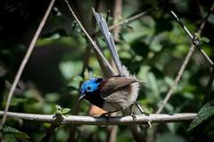 Variegated Fairy-Wren (Joep Buijs Photography) Tags: variegatedfairywren awesome detail 500mm nikon d750 australia australianbirds