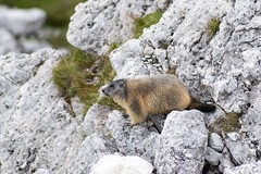 Alpine marmot! (lollo255) Tags: montagna marmotta 2016 dolomiti valparola marmots marmotte mountains dolomites alpine alps alpi animal