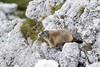 Alpine marmot! (Lorenzo Giardi) Tags: montagna marmotta 2016 dolomiti valparola marmots marmotte mountains dolomites alpine alps alpi animal
