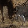 0255 Kuhreiher mit Sambarhirsch (uwizisk) Tags: östlkuhreiher bubulcusibiscoromandus easterncattleerget india indien ranthambhorenationalpark