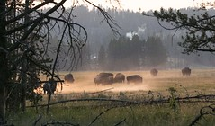 Buffalos in the mist (Mighty Phoenix) Tags: wild bufallo animal mist yellowstone