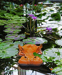 Wildlife in the Lily pond! (Trevor Jolley) Tags: hippo lilypond wisley