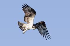 Osprey taking Off (Patricia Ware) Tags: ballonawetlands birdsinflight california canon ef400mmf56lusm osprey pandionhaliaetus playadelrey ©2016patriciawareallrightsreserved marinadelrey unitedstates us specanimal