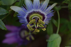 When Passifloras Collide (_pkm_photography) Tags: pkmphotography2016 dslr nikon d3300 passiflora