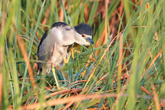 Morning Itch (Bill McBride Photography) Tags: nycticoraxnycticorax blackcrownednightheron blackcrowned night heron ritchgrissommemorial bird avian nature wildlife fl florida melbourne viera wetlands autumn september 2016 canon eos 70d ef100400l