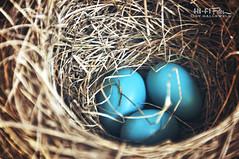 Future Robins (Hi-Fi Fotos) Tags: life blue bird nature robin spring nikon babies nest american eggs chicks hallwell d5000 cmwdblue hififotos