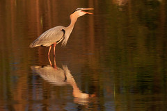 I Ate The Whole Fish (dngovoni) Tags: fish bird heron water sunrise spring action background wildlife egret bombayhook