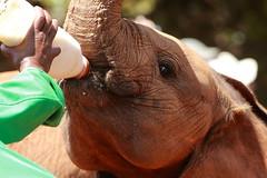 Orphan (Hassaneini) Tags: elephant kenya nairobi davidsheldrick كينيا