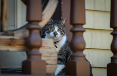 IMG_8913 (kz1000ps) Tags: nyc newyorkcity stairs cat feline manhattan district kitty historic mansion morris bigapple washingtonheights jumel porchmonkey sylvanterrace jumelterrace