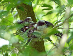 Roost of Young Long Tailed Tits (Zana Benson) Tags: smallhytheplace longtailedtit longtailedtits