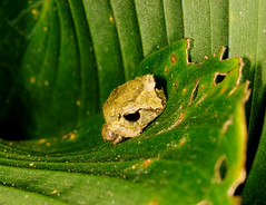 Pygmy Robber Frog (scott_clark) Tags: green nature animal leaf costarica wildlife amphibian frog tiny tropical centralamerica lascrucesbiologicalstation pristimantisridens pygmyrobberfrog