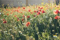 Tiempo de amapolas (Isabel G. Diez) Tags: flores flower primavera spain amapola sprinting campodeamapolas leonesp