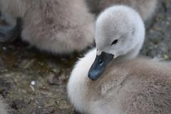 Cygnet (emmajanerigby) Tags: baby nature birds animals photography swan nikon babies wildlife cygnet swans sthelens cygnets muteswan taylorpark d3300