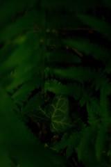 Ivy Heart (Key.in.a.Can) Tags: summer fern green denmark secret ivy odense