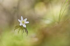 anmona nemorosa (ALQVIMIA) Tags: flower green nature forest nikon flor blanca bosque tamron anmona nemorosa flordelviento