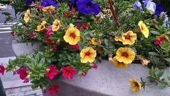 Pansies in Dilworth Plaza (wheeltoyz) Tags: street city flowers love philadelphia home reading hall store market cab taxi diner down center terminal convention philly septa horticulture pretzel brotherly