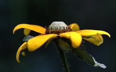 Rudbeckia hurta (jamespicht) Tags: flowers louisiana rudbeckia asteraceae natchitoches spring2016