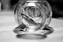 Macro Monday: Leaf - explore (2016/05/16) (panikyu) Tags: bw macro glass leaves closeup leaf close dry jar laurel mondays bayleaf macromondays macromonday