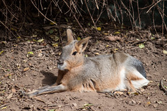 Patagonian cavy (Atrum Lupus) Tags: rodent australia mara adelaide southaustralia mammalia patagonianhare rodentia australie adelaidezoo rongeur dolichotispatagonum patagonianmara patagoniancavy livredepatagonie