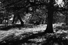 Cedar Forest by ioanna papanikolaou (joanna papanikolaou) Tags: light blackandwhite bw plants beautiful forest dark landscape daylight day shadows scene foliage greece cedar scape prespes