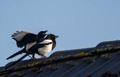Urban Rooftop Romance (18+) (abritinquint Natural Photography) Tags: wild bird rooftop nature nikon natural wildlife romance 300mm telephoto magpie nikkor f4 vogel pf tc14eii 300mmf4 teleconvertor d7200 pfedvr