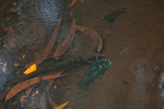 Lamington spiny crayfish, Euastacus sulcatus (ross_coupland) Tags: world park heritage clouds forest gold coast rainforest national valley queensland vegetation brook beech antarctic springbrook gondwana hinterland nothofagus purling numinbah