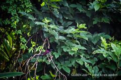 IMG_3947 (sullivan) Tags: nature animal dof bokeh taiwan sullivan yilan   ef300mmf4lisusm japaneseparadiseflycatcher     canoneos7d          adobephotoshoplightroom5 suhaocheng sullivan sullivan dingliaoecologicalpark